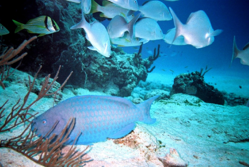 Parrotfish pictures posters news and videos on your for Blue parrot fish